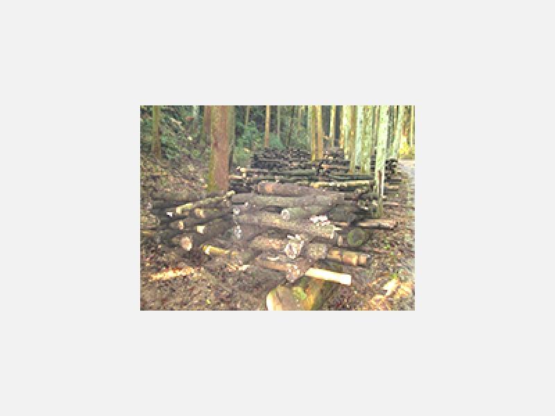 自然の森の中の「ほだ場」(しいたけ畑)で栽培