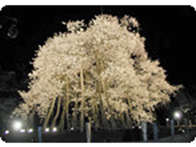 久保桜 ライトアップ