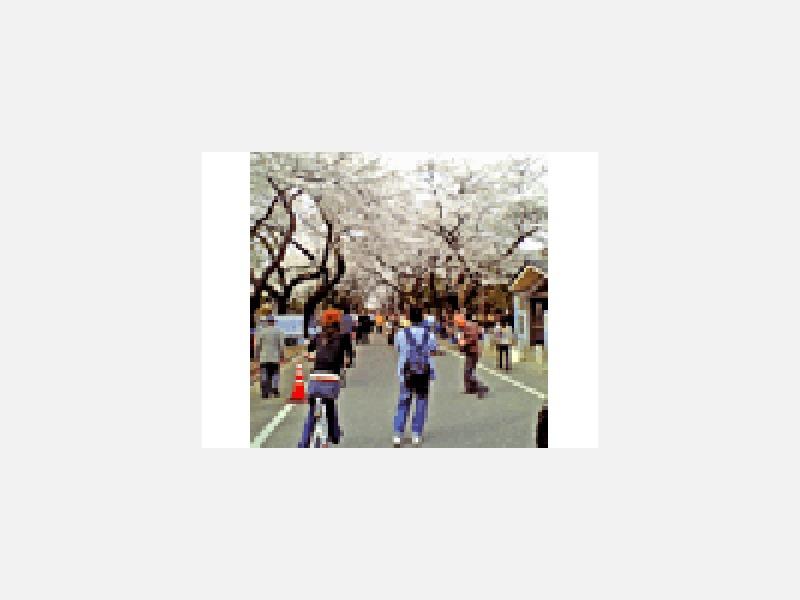 地元谷中霊園の桜並木