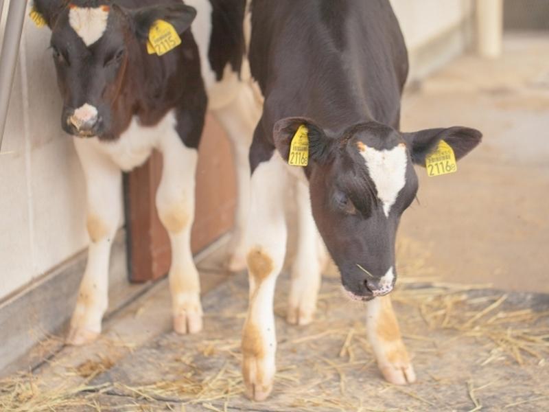 小さい時から牛の健康には削蹄が重要です