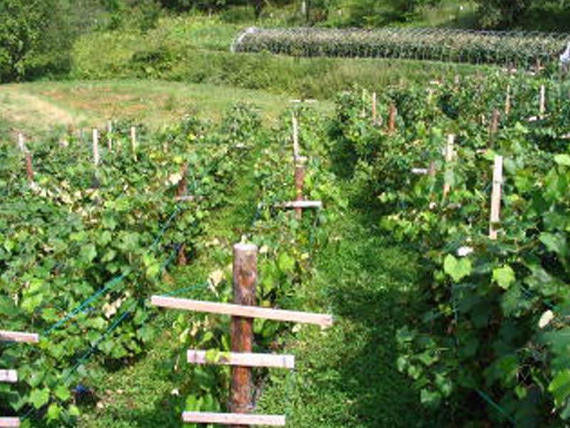 垣根式のブドウ畑