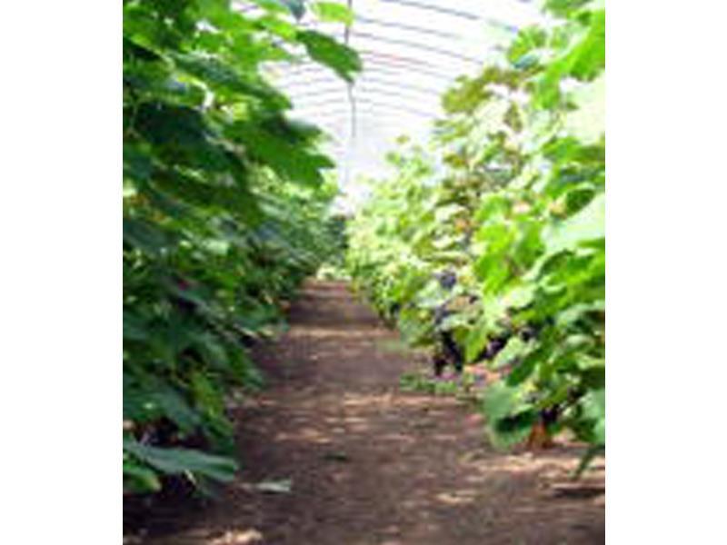 ブドウ狩りのための温室
