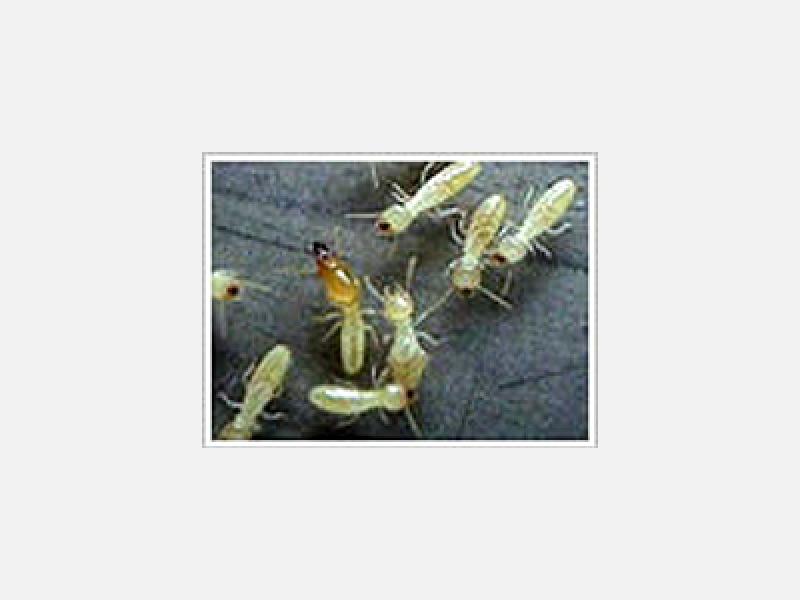 ヤマトシロアリ(兵蟻・職蟻)