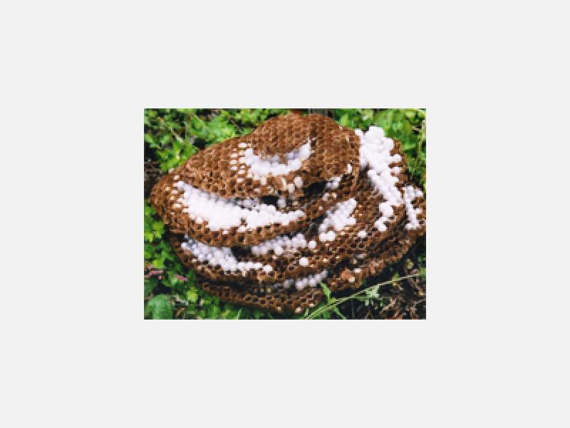 蜂の駆除及び巣の撤去