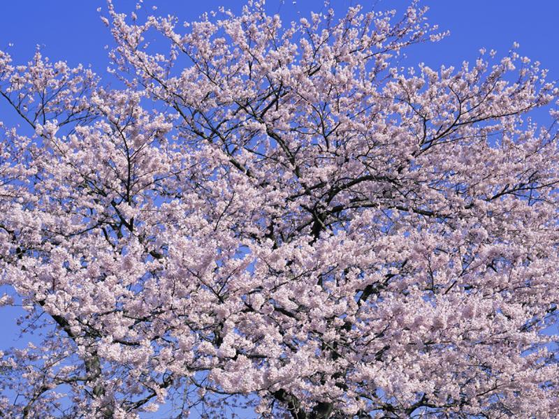 樹齢千年の「峰張桜(エドヒガン)」