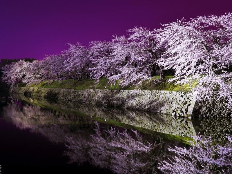 五稜郭公園夜桜