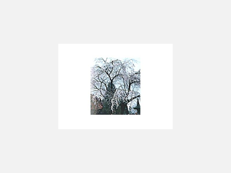 芳賀町指定天然記念物「樹齢四百年の枝垂桜」