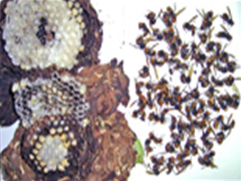 9月上旬に駆除したコガタスズメバチの巣 成虫80匹