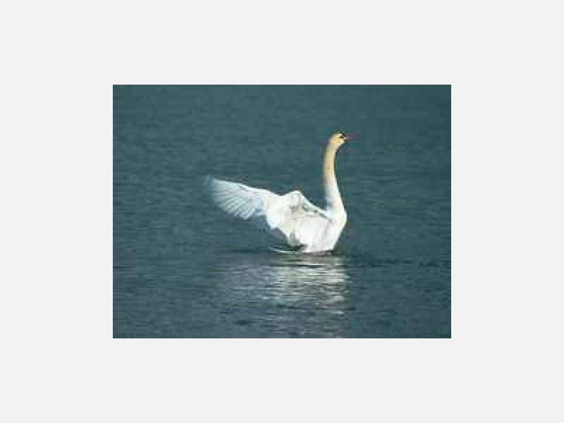 白鳥飛来地★十勝川河畔