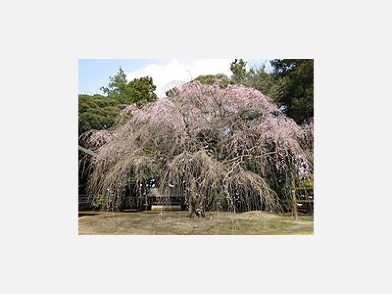 境内の枝垂れ桜