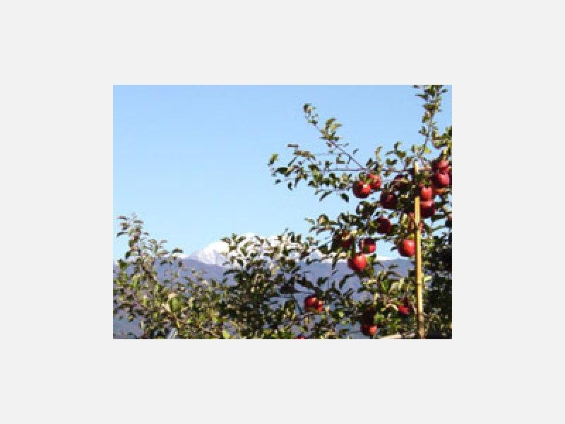 ★秋はりんご狩り