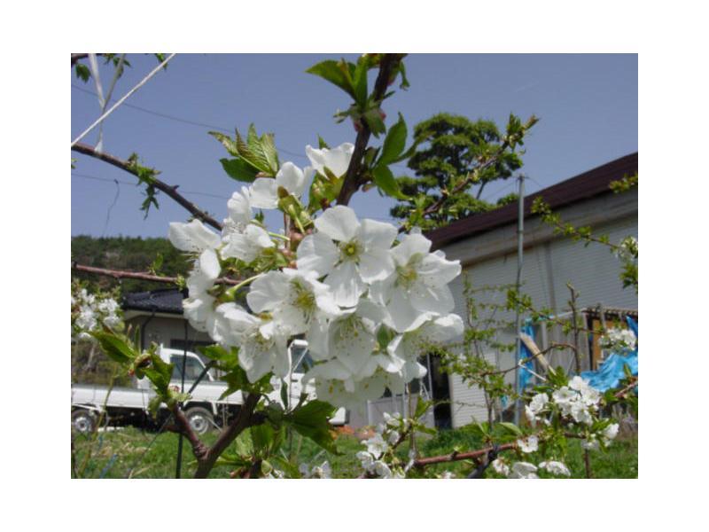 ★春 さくらんぼの花