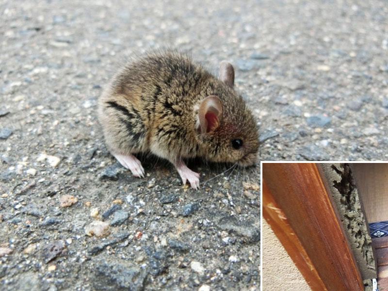 ネズミは何でもかじってしまうので、放っておくと危険です!
