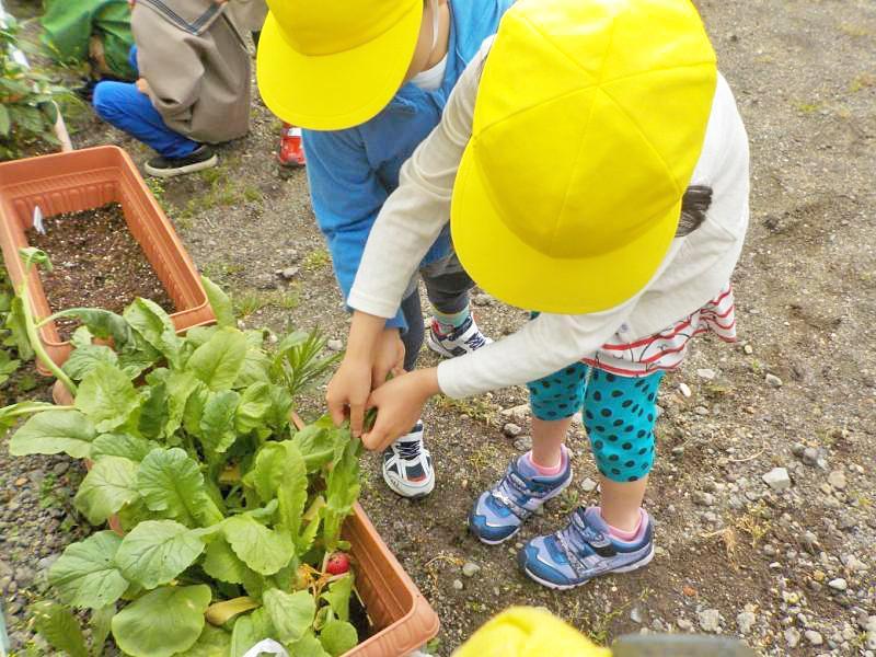 保育園菜園_楽しい収穫!