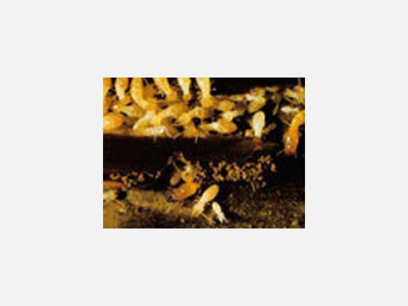 建物を土台から破壊するシロアリ