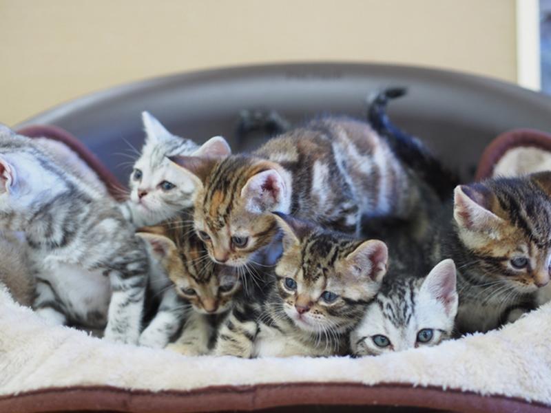 自店繁殖の仔猫の販売